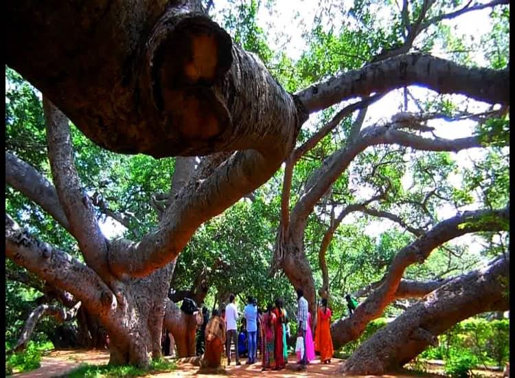 Tourist is watching 700 year old pillalamarri banyan tree