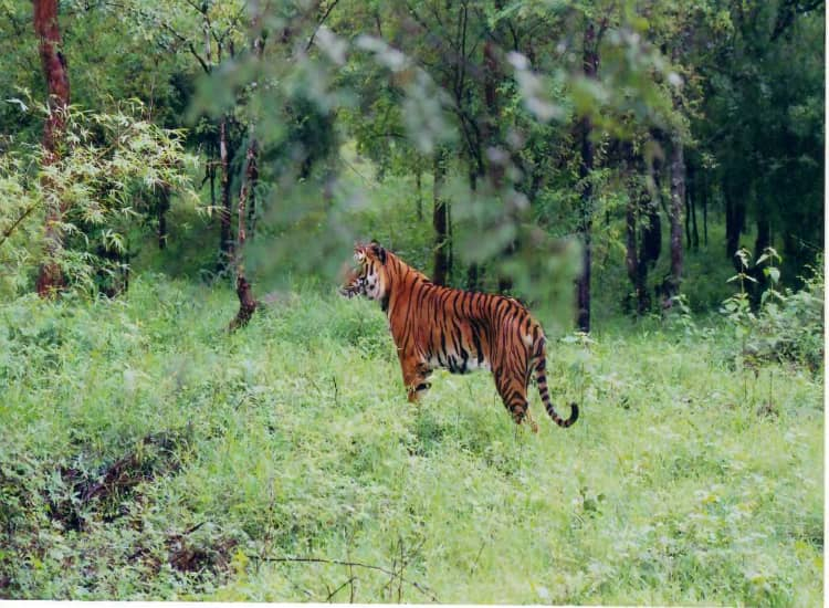 Tiger on Bhadra Wildlife Sanctuary